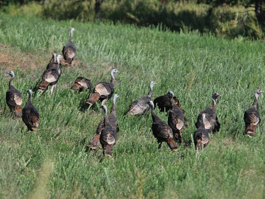 the wild turkey sucess story essay The wild turkey may be america's greatest wildlife conservation success story « 10,000-acre deal to protect sage-grouse marks milestone in conservation teetering on the edge of disaster.