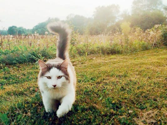 """This photo of Jack taking a summer stroll was submitted to the Lebanon Daily News by Raychel Kress for our Community Journalism photo collection this summer. This photo's theme was """"The Purrrrfect Summer."""" This week we are collecting photos on our Facebook page (www.Facebook.com/ldnews) or on Instagram (@lebdailynews) to fit the theme """"Out and About."""" Photos chosen from those submissions will be published next week and all photos submitted go on our Pinterest page."""