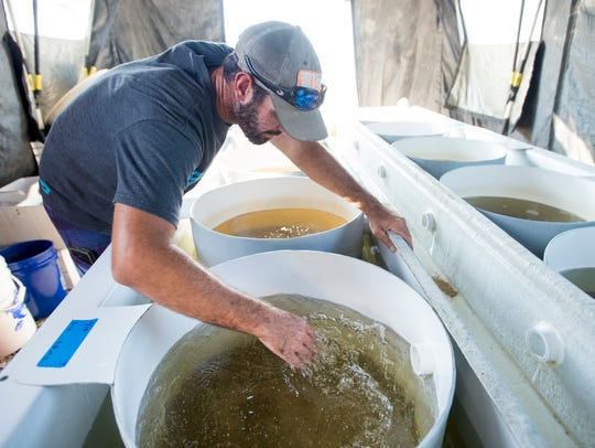 Jonathan York agitates bins of baby oysters at the