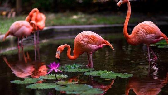 Flamingos at the Everglades Wonder Gardens in Bonita Springs