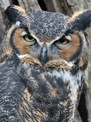 A Great Horned Owl poses for photos at the Ohio Bird Sanctuary during the Mohican Wildlife Weekend in 2015.