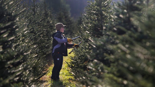 Gwen Hely, a senior at Honeoye Central, prunes a tree at All Western Evergreen Nursery and Christmas Tree Farm on Saturday, October 25, 2014.