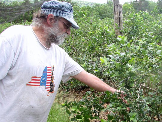 Jason Knapp of Knapp Farm in Lowman checks on his blueberry