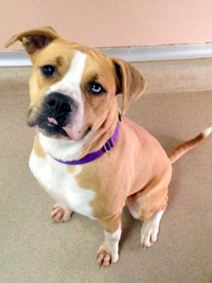 Gracie is a 2-year-old boxer mix who would be a great addition to any family. She is spayed.