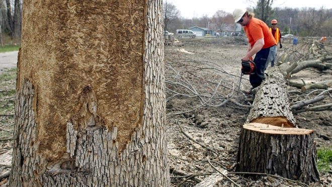 Tree crews near Whitehouse, Ohio cut down trees fatally infested with emerald ash borer larvae in this undated photograph.