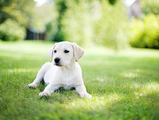 web - lab puppy