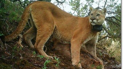 A North Dakota mountain lion.