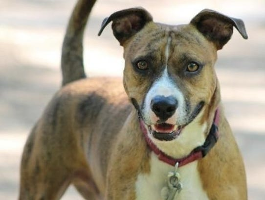 Corey is a 2-year-old, 35-pound, neutered, male pit
