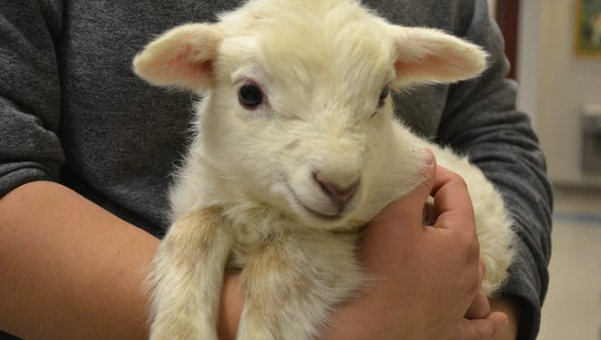 On November 27, one of the rescued sheep, Constellation, surprised everyone when she gave birth to a lamb named Conrad.