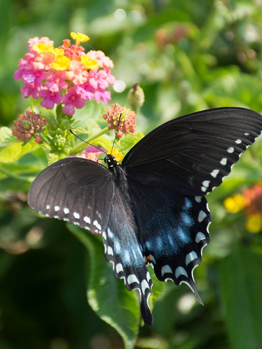 636299386963609059-berry-blend-lantana-butterfly-swallowtail-on-lantana-pw.jpg