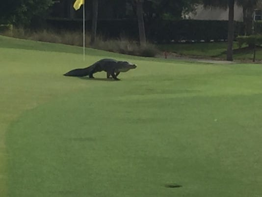 Gator on Colonial Country Club golf course green on 11.jpg