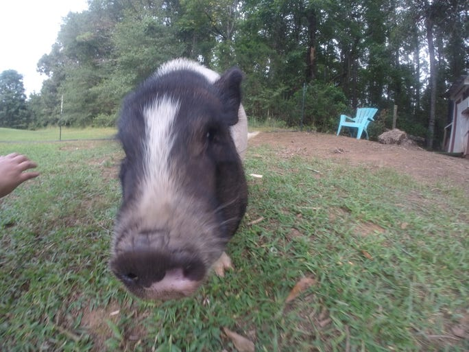 11Alive's Jeremy Campbell talked with a young woman trying to save a pig.