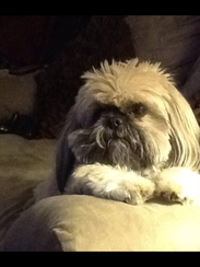Zack the shih-tzu brought joy to his people's lives.