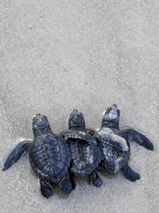 Baby Sea Turtles being released into the Gulf of Mexico.
