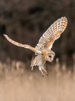 A barn owl swoops down for a landing. The Ridges Sanctuary holds a weekend of owl-related activities, including a March 5 owl meet-and-greet, during its Owl-O-Rama.