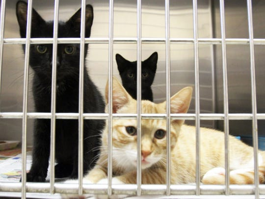 A cage full of kittens up for adoption during an Aug. 9 visit to the new ARF (Animal Rescue Force) at the Sayrebrook Veterinary Hospital on Main Street in Sayreville.