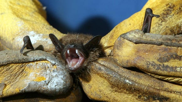 This bat was removed from a Chappaqua home in 2010.