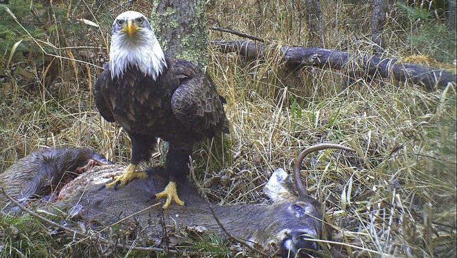 Bald eagles feed mainly on fish, but also feed on dead deer and other carrion. In addition, they'll kill injured muskrats and waterfowl for food.