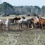 How to help the starving horses rescued from a Wicomico property