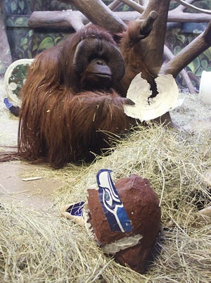This image provided by the Hogle Zoo shows Eli the ape with a paper mache Seattle Seahawks helmet she chose over a Denver  Broncos helmet, predicting the winner of this Sunday's Super Bowl at the Hogle Zoo in Salt Lake City on Jan. 30, 2014. Eli  has correctly picked the Super Bowl winner for six straight years.