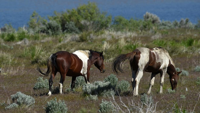 Wild horses are seen near Little Washoe Lake south of Reno on May 20, 2017.