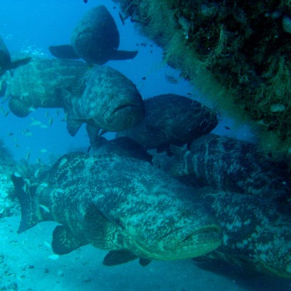 Grouper troopers: Some serious biomass of 250-pound