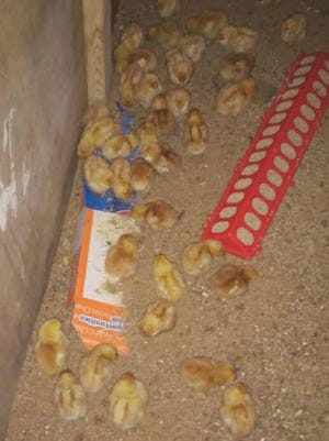 The Eichers were excited to receive 42 baby chicks last week.