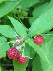 Red raspberries grow along the paths in some Stearns County parks. They ripen before blackberries and pull cleanly from the core. Blackberries ripen later and include the core.