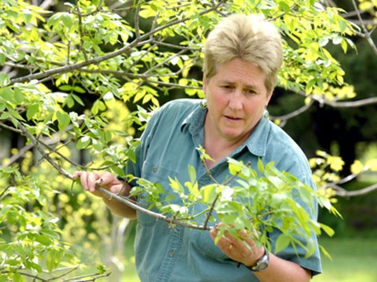 Deb McCullough, an MSU entomologist and one of the worlds foremost expert on the emeral ash borer, inspects an ash tree at a research area on the MSU campus filled with ash trees.