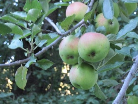 Apples flourish in the old orchard near Bonito Lake.