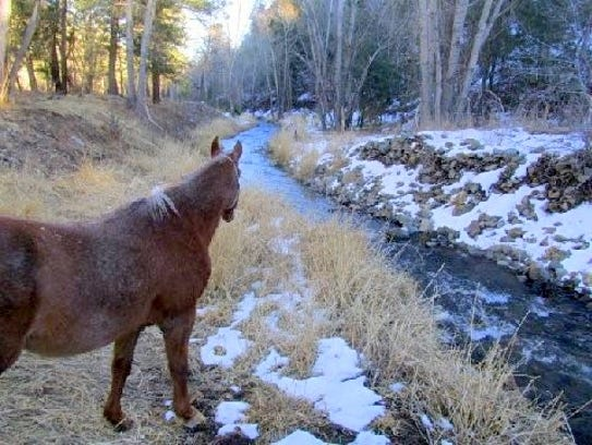 Spanky edges toward the rushing stream to enjoy a cold