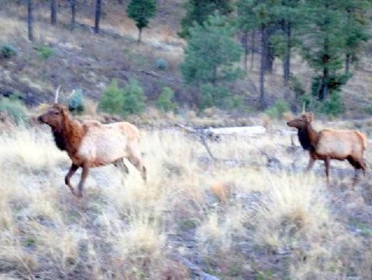 Two elk ran across the valley to join the troupe following