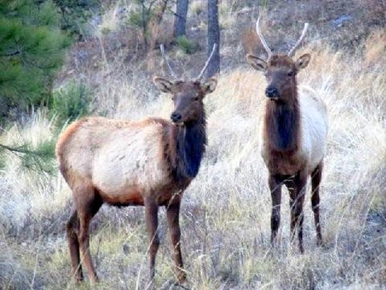 The two bull elk seemed to wait for an invitation.