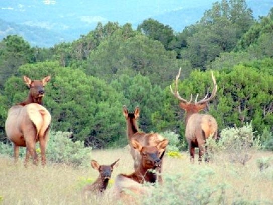 Some of the elk cows rested in the tall grass while