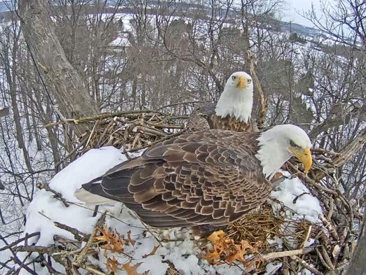 The Hanover eagles sit in their snow nest Jan. 26.