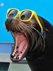 A 21-year-old male sea lion Rook tries to wear sunglasses