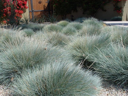 Amethyst-colored Festuca glauca is ideal for modern