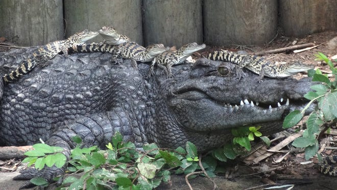Siamese Crocodile hatchlings are on the back of their foster mom, a Siamese crocodile. P