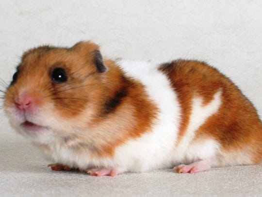 Twinkie is a 1-year-old, red and white, male hamster.