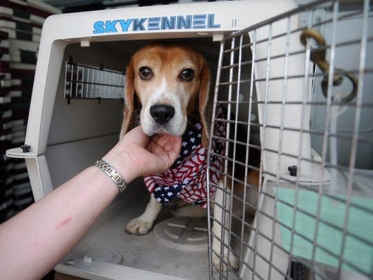 Dozens of dogs that were sprung from a bankrupt testing