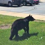 Black bear makes tracks to Lena School, leaves before DNR arrives
