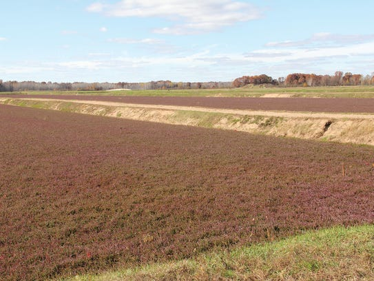 A cranberry bed at Glacial Lake Cranberries before