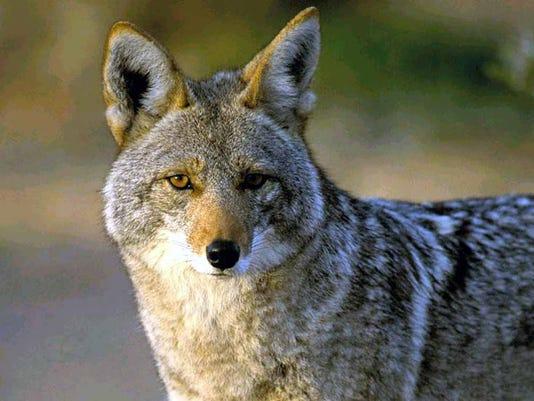 FNPTab-04-12-2015-TropNorth-1-E020--2015-04-07-IMG--Coyotes02.JPG-20141-1-1-UDAEBUE7-L591694975-IMG--Coyotes02.JPG-20141-1-1-UDAEBUE7.jpg