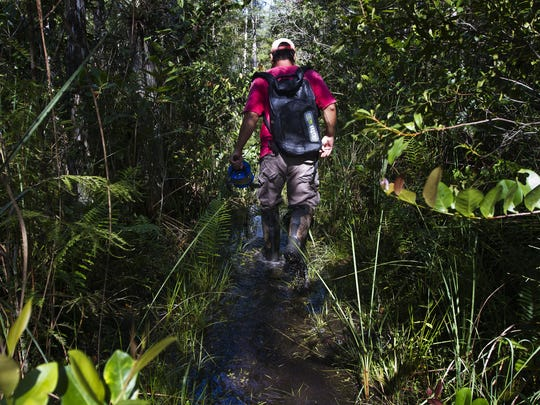 Barclay Shoemaker, a research hydrologist for the U.S. Geological Survey, wades through a narrow trail on his way to work on a repair at one of the USGS weather monitoring towers at Big Cypress National Preserve off Loop Road Monday morning.