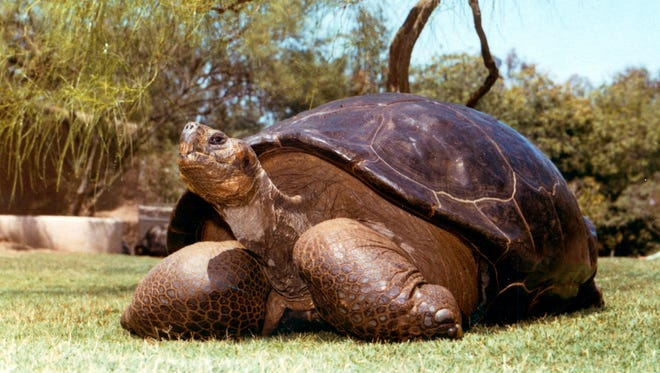 This undated photo from the San Diego Zoo shows Speed, a Galapagos tortoise that has been at the zoo since 1933.