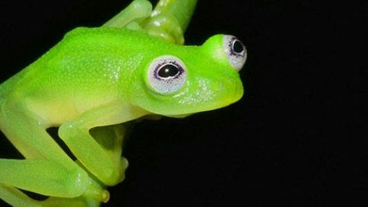 The frogs are only found in certain parts of Central and South America.