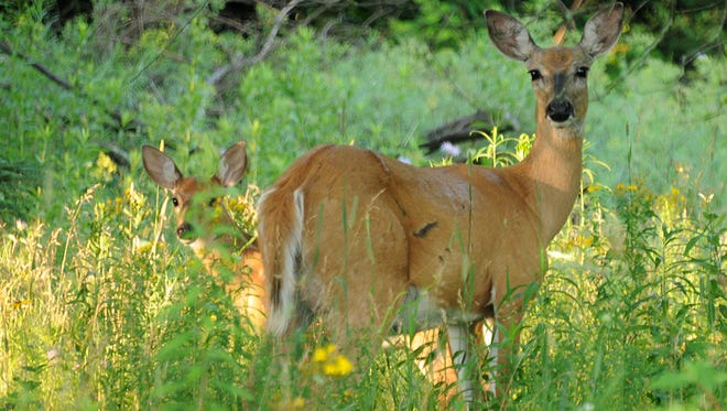 Hungry deer herds in some parts of Wisconsin make it difficult for oak trees to regenerate.