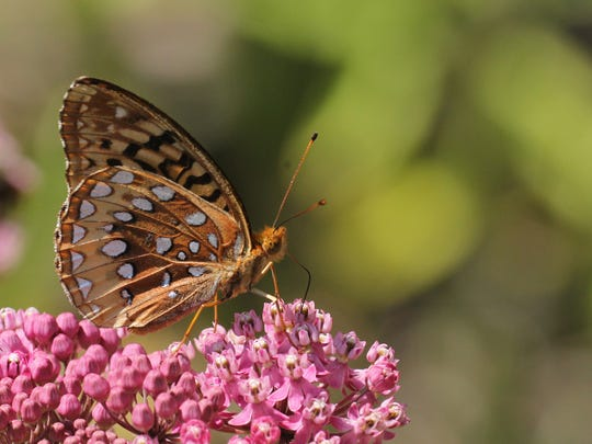 A great spangled fritillary hangs out at the New Jersey