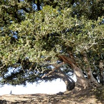 Volunteers rally to save centuries-old oak trees in Channel Islands National Park