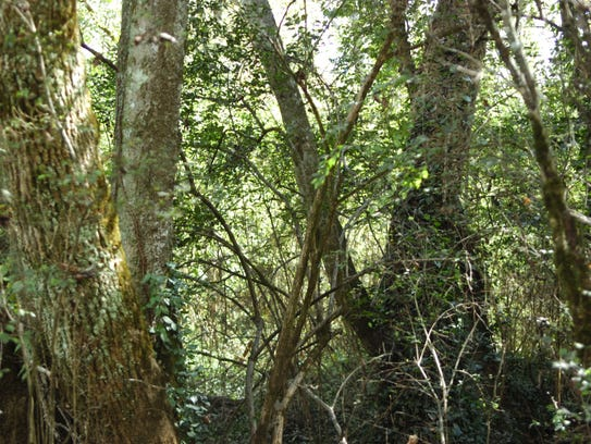 The vegetation is dense on a 13.4-acre piece of property Ijams Nature Center has acquired.